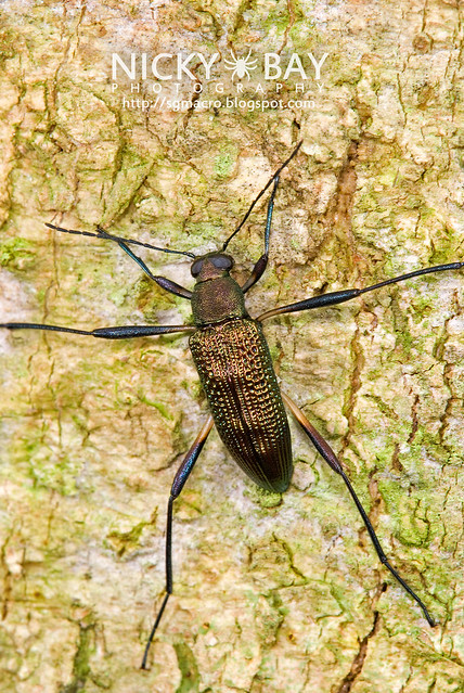 Darkling Beetle (Tenebrionidae) - DSC_7321