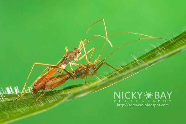 Broad-Headed Bugs (Alydidae) - DSC_3069