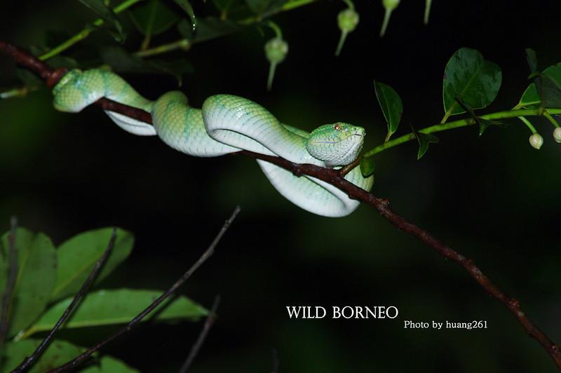 Wild Borneo 野性婆羅洲-兩爬