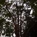 Garden Inventory: Eucalyptus - 06