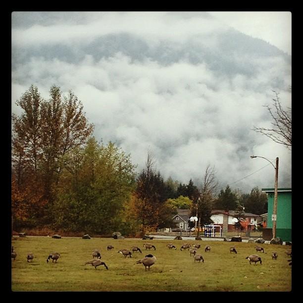 Canada geese, Squamish