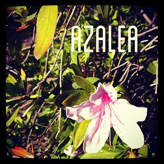 Garden Alphabet: Azalea from A Gardener's Notebook