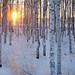 Solnedgång i björkskogen / ..sunset in birch forest.. Luleå by srchedlund