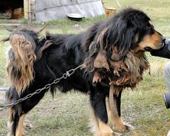 collie(0.0), dog breed(1.0), animal(1.0), dog(1.0), hovawart(1.0), pet(1.0), mammal(1.0),