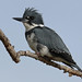 Flickr photo 'Belted Kingfisher' by: Aaron Maizlish.