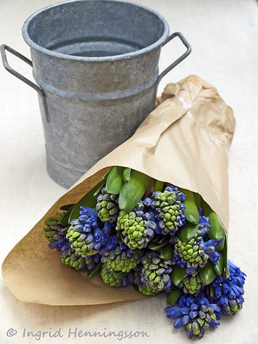 Hyacinths Wrapped in Paper