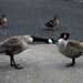 Small photo of Goose fight!