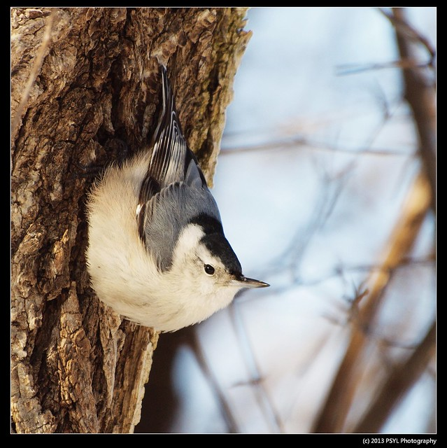White-breasted Nuthatch (Sitta carolinensis)