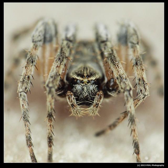 Orb-weaver spider (Family Araneidae)