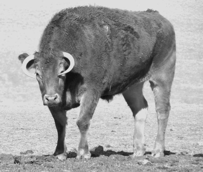FARM cowb&w