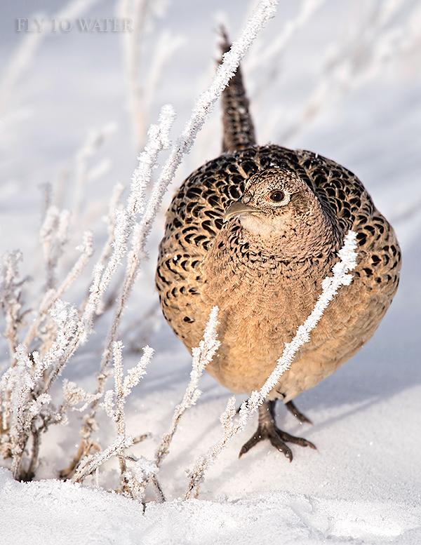 Frosty Hen Pheasant - Vert