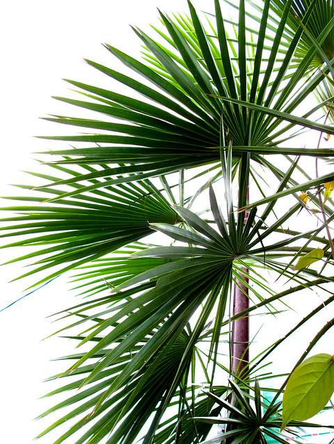 IMG_0372 Palm