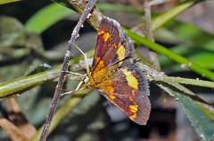 Orange Mint Moth, Pyrausta orphisalis