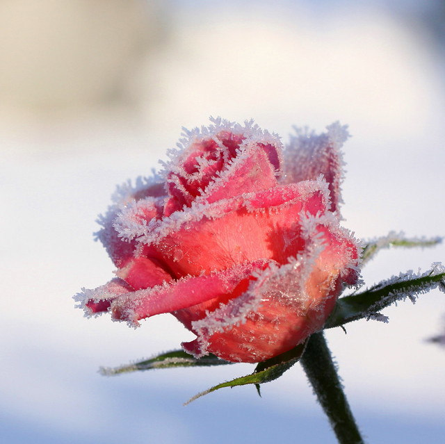 1000  images about frozen roses on Pinterest