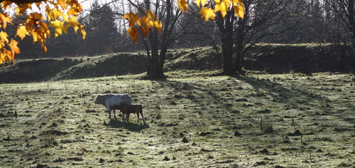 sunlight sunrise shadows cows annapolisvalley morningdew dschx100v sonydschx100v