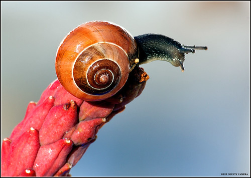 Snail on Magnolia Seedpod