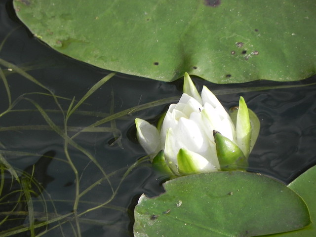Water lily opening, Humboldt Park, Chicago. Credit: Richard Pallardy