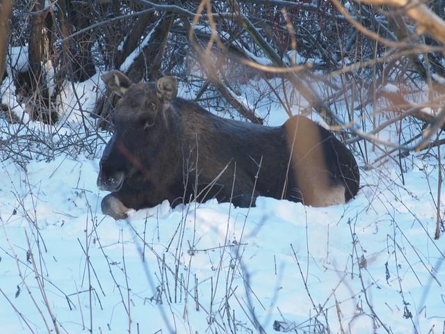 Eurasian elk - photo#55
