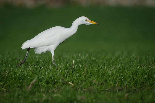 Cattle Egret / Garcilla bueyera (Bubulcus ibis)