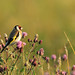 Putter/Goldfinch by Pepijn Hof