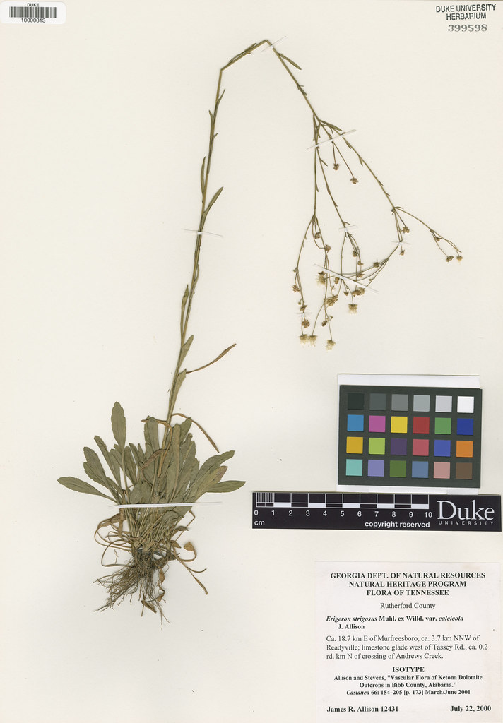 Asteraceae_Erigeron strigosus