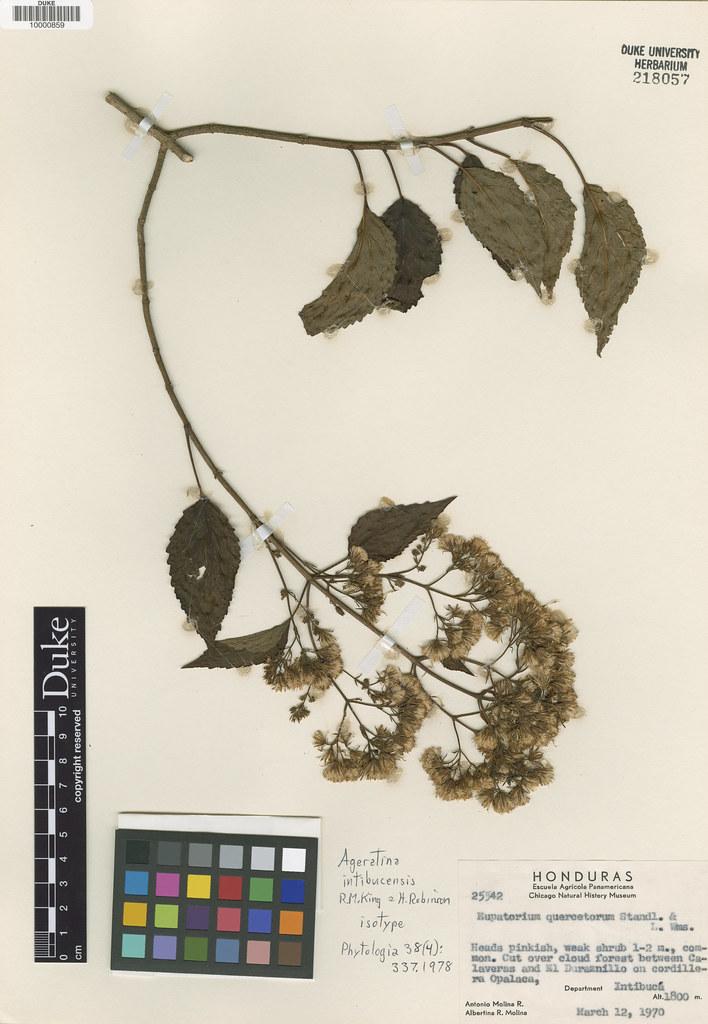 Asteraceae_Ageratina intibucensis