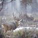 Buck Mule Deer, Snowstorm