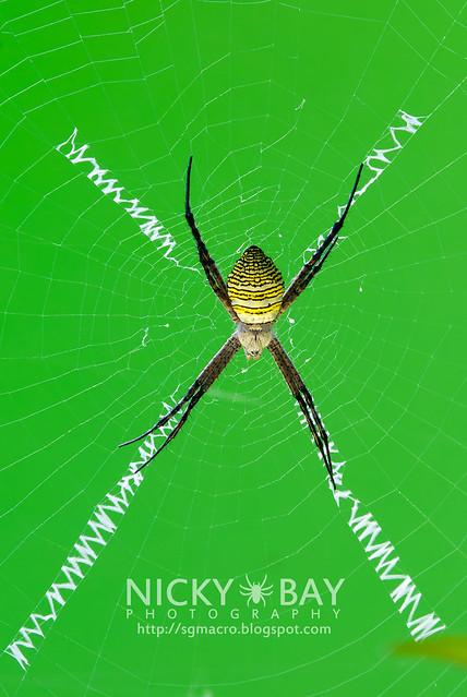 St Andrew's Cross Spider (Argiope aemula) - DSC_2824