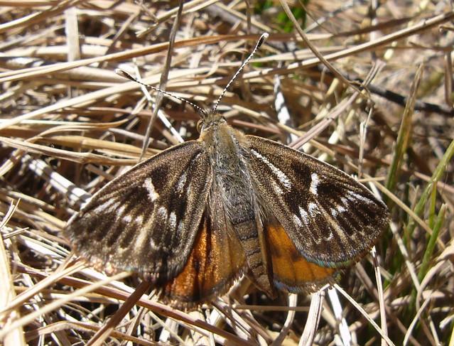 Striated Sun Moth Cat Nield-Fest_DSE