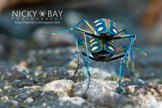 Tiger Beetle (Cicindelinae) - DSC_9822