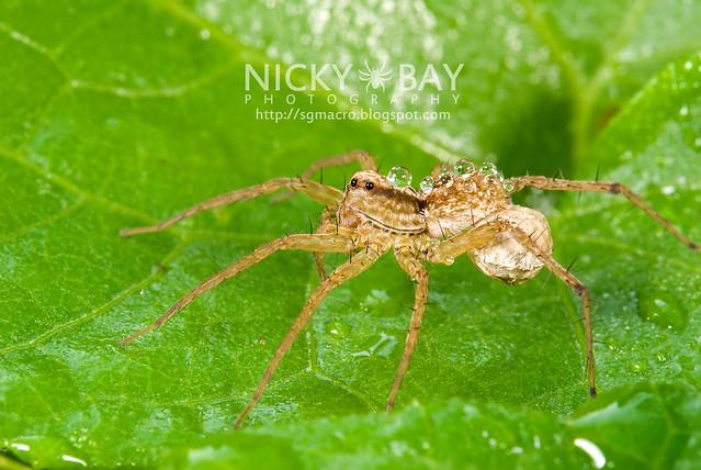 Wolf Spider (Lycosidae) - DSC_7148