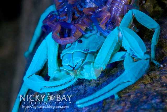 Scorpion (Lychas scutilus) - DSC_8994