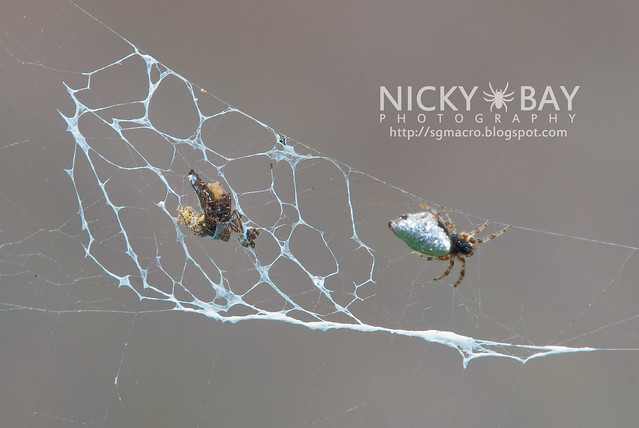 Orb Weaver Spider (Cyclosa ginnaga) - DSC_6993