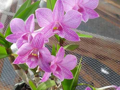 "Dendrobium 'Hawaii' ""Million Stipe"" by Jane Young"
