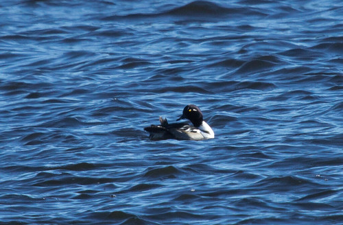 Hybrid Common Goldeneye X Hooded Merganser