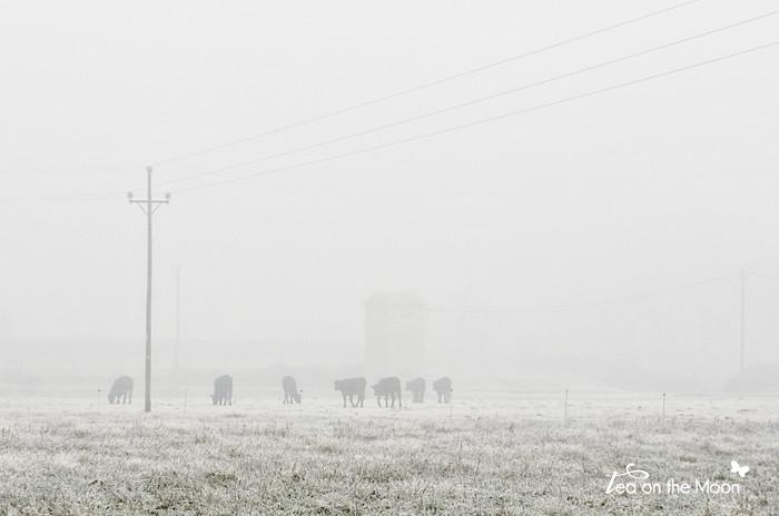 """""""Vacas en la niebla"""" ;-)"""