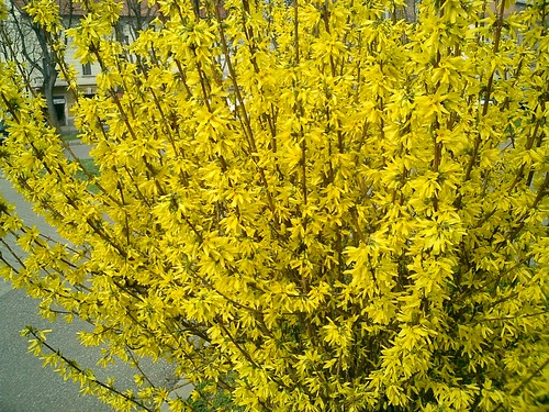 forsythia wholesale flowers