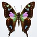 Small photo of Purple Spotted Swallowtail (Graphium weiskei)