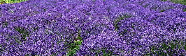 Lavender Wind Farm, Whidbey Island