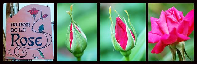 Rose Rosen Rosenblüte geschlossen offen
