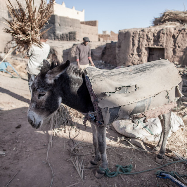 Donkey waiting in Tamegroute