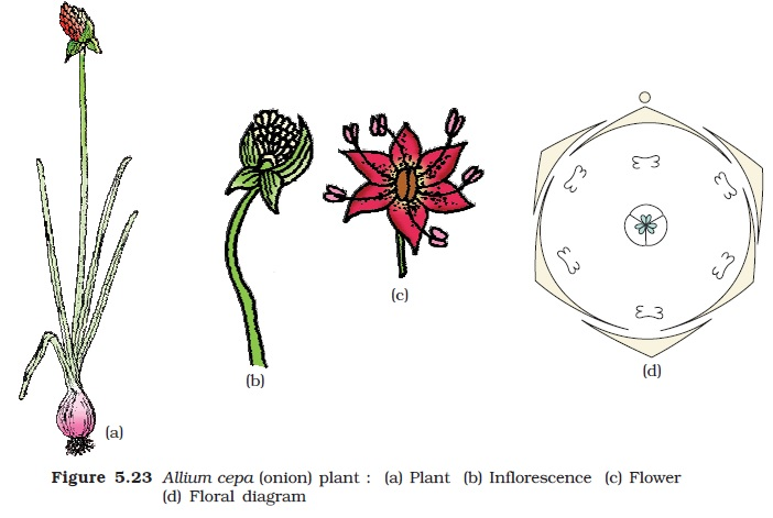 Ncert Class Xi Biology Chapter 5 Morphology Of Flowering Plants