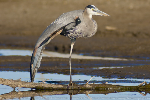 """Great Blue Heron - """"The Floor Exercise"""""""