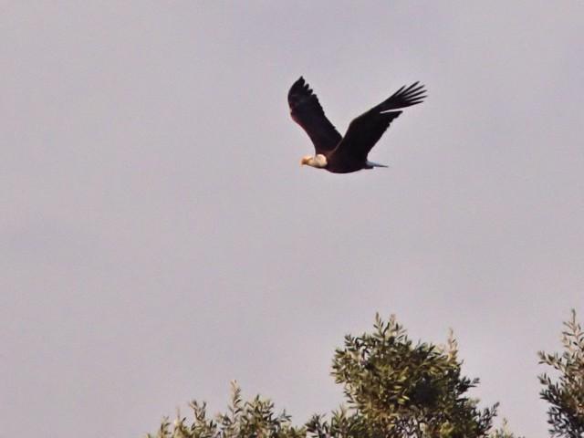 Bald Eagle 20130130