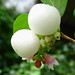 Small photo of Snowberry. Symphoricarpus rivularis. Caprifoliaceae