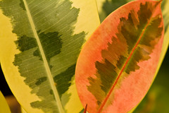 Rubber tree leaf