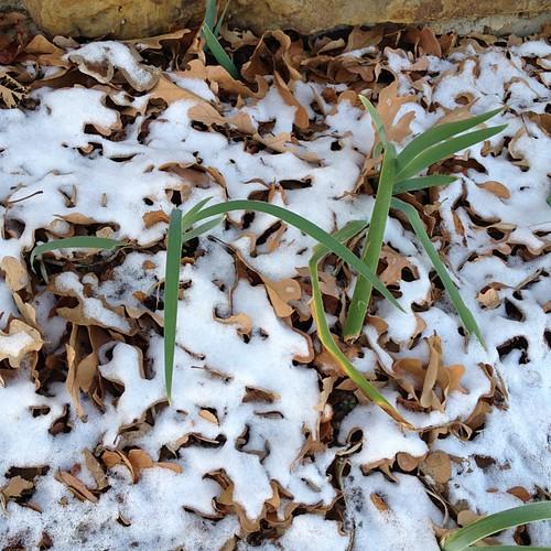 Irises and snow