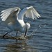 Fishing Action - Snowy Egret