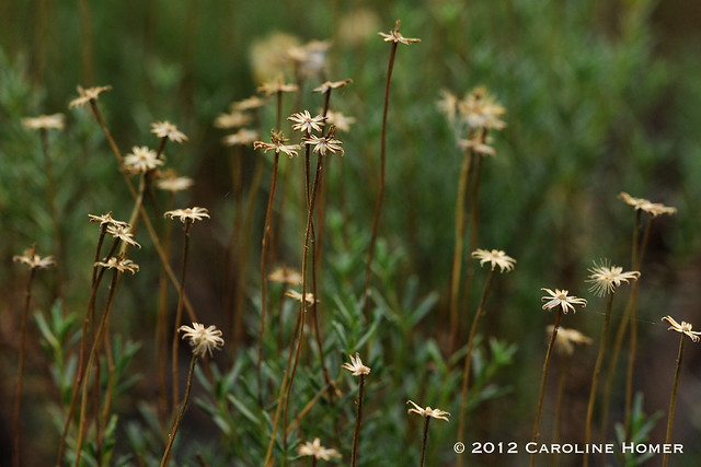 damianita seedheads