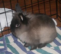 whiskers(0.0), animal(1.0), rabbit(1.0), domestic rabbit(1.0), pet(1.0), angora rabbit(1.0), rabits and hares(1.0),